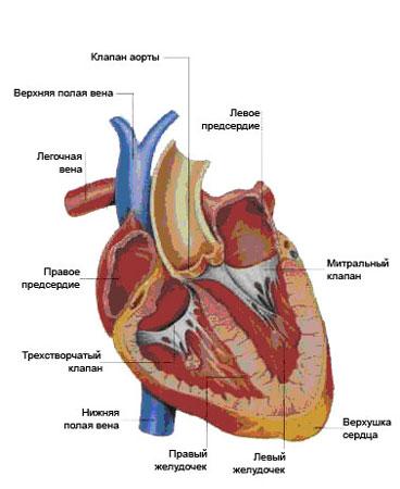 Реферат пороки сердца при беременности 9842
