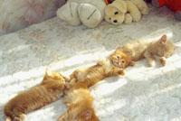 Наша большая кошачья сибирская семья