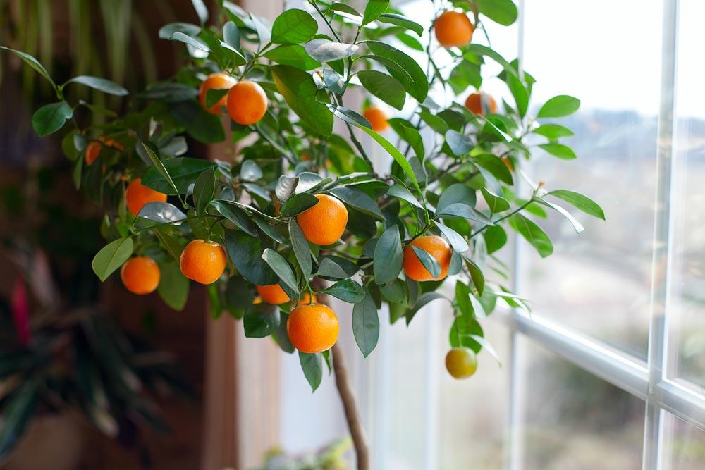 Как вырастить цитрусовое растение из семечка