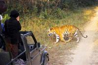 Во время вечернего сафари по джунглям Канхи тигр вышел прямо к нашему джипу. Фото Е.Ледовских