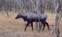 антилопа нильгау - самая крупная в мире. Фото Е.Ледовских