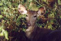 Самка оленя самбара. Фото Е.Ледовских