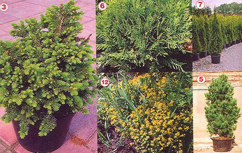 Как правильно разбить миксбордер с хвойными растениями