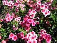 Цветы с конфет тюльпаны фото