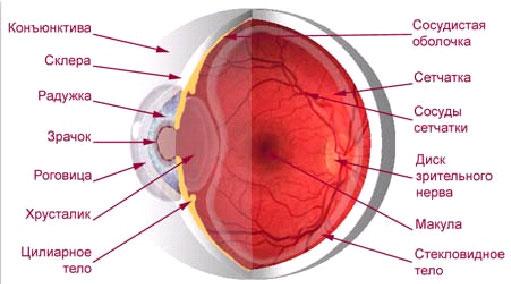Наш глаз устроен очень тонко и сложно.  И наиболее важные для формирования изображения структуры - сетчатка и...