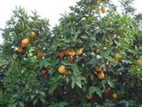апельсинная роща