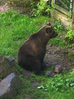 Медведь в Скансене