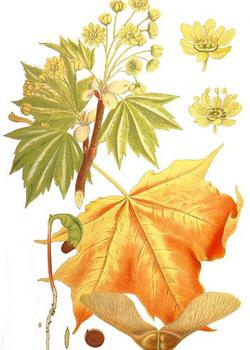 Ботаническая иллюстрация из книги К. А. М. Линдмана